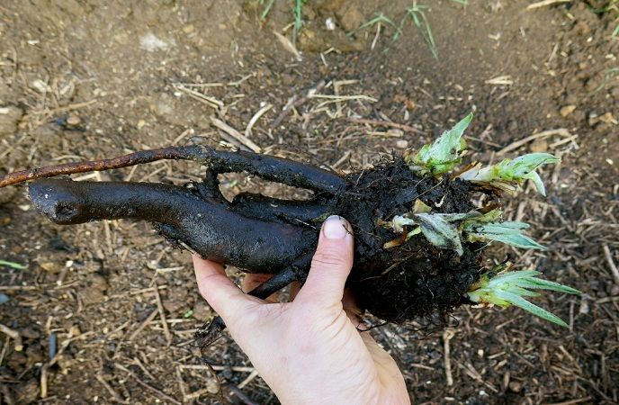 how-to-get-rid-of-a-black-eye-comfrey-roots