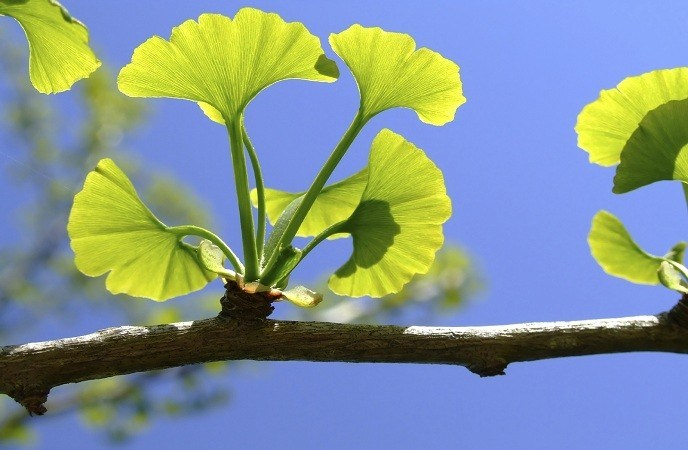 how-to-treat-adhd-ginkgo-biloba